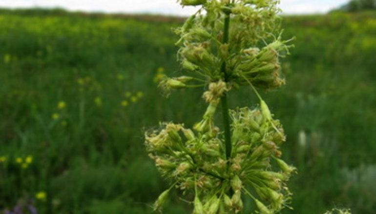 Флора по-донецки: козлобородник, ушанка и прочие