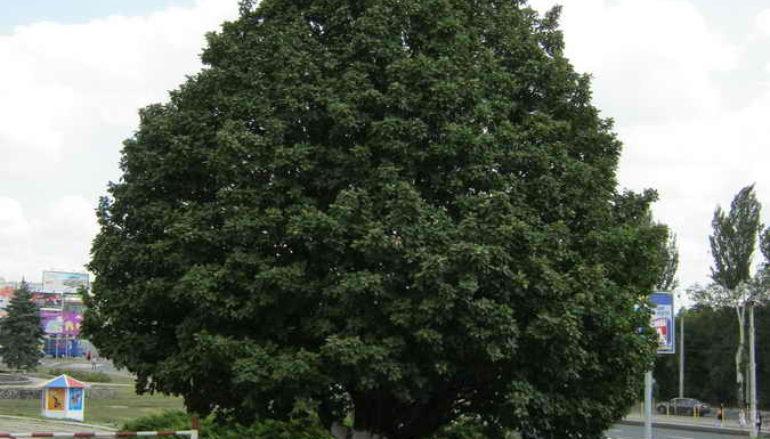 Вековые деревья: подводя итоги