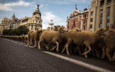 Скот на Театральной площади