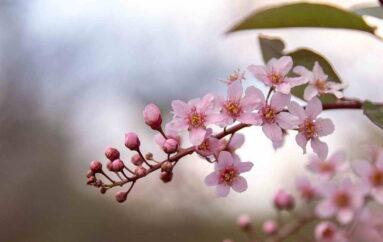 Цветок сакуры Тимофея Ревенко