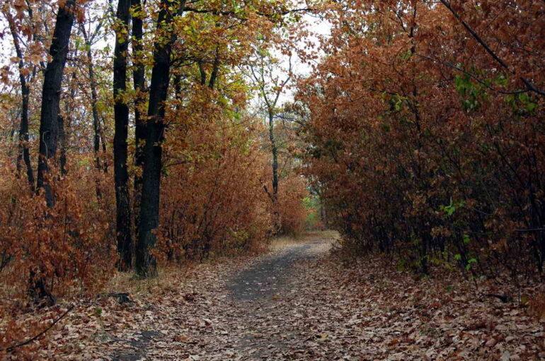 Дубы и тропинки Путиловского леса